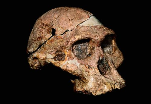 Figure 1: A recent study has put forward some important evidence of early human ancestors, in particular Australopithecus africanus (pictured), wielding tools in a human like fashion dating around 3 to 2-million years ago.