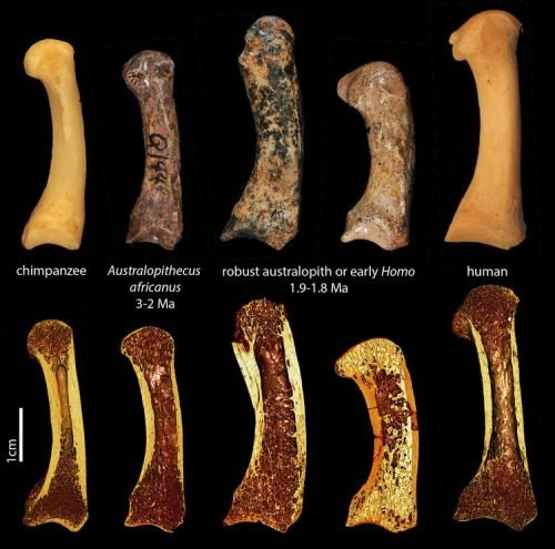 Top row: First metacarpals of the  various hominins.  Bottom row: 3-D renderings from the micro-CT scans showing a cross-section of the bone structure inside.
